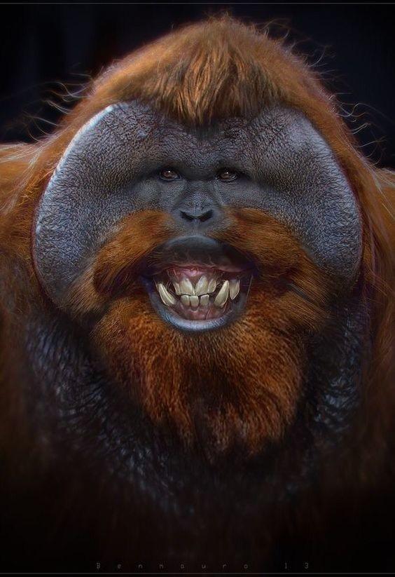 Самцы некоторых видов обезьян (например, шимпанзе) могут лысеть так же, как и люди. Впрочем, могут и не лысеть. интересное, обезьяны, факты, фауна