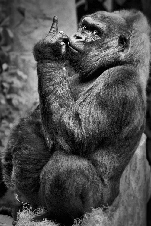 Научное название рода горилл — gorilla, вида западная горилла — gorilla gorilla, а его подвида западная равнинная горилла — gorilla gorilla gorilla. интересное, обезьяны, факты, фауна