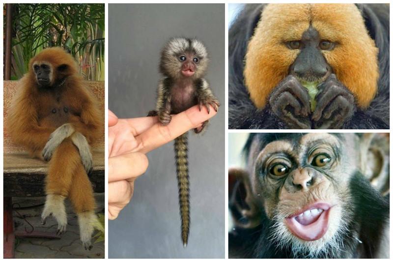 Обезьяны живут от 10 до 60 лет.  интересное, обезьяны, факты, фауна