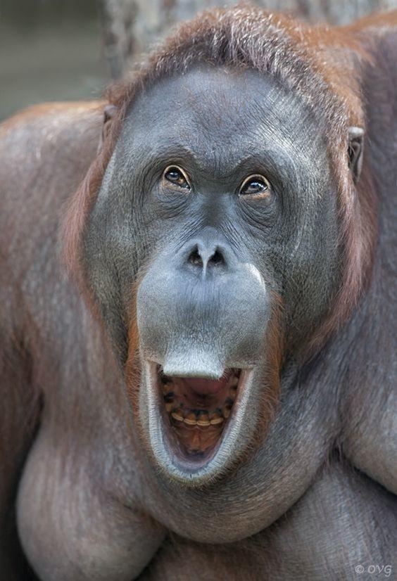 Подбородочный выступ является характерной деталью, отличающей современного человека от обезьян и вымерших представителей рода Homo. Единственным другим млекопитающим, у которого выделяют подбородок, является слон. интересное, обезьяны, факты, фауна
