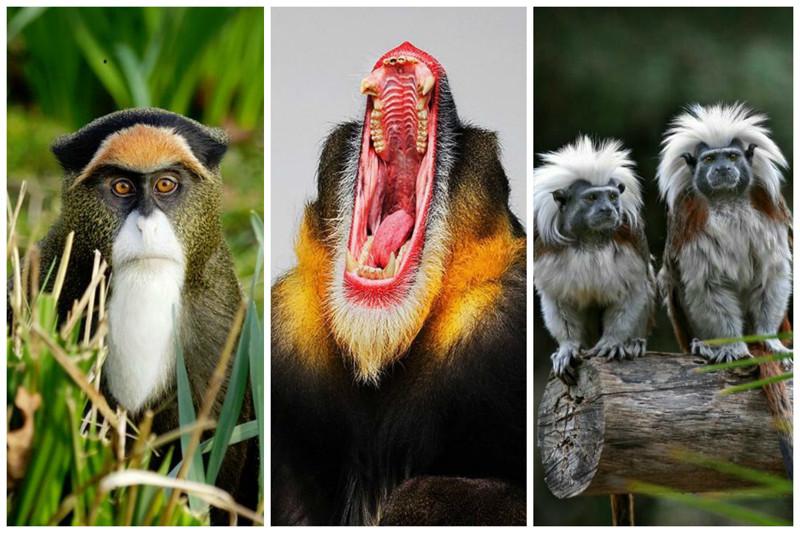 Если новорожденная обезьянка потеряла мать, то ее  воспитают тети (родственники матери) либо ее подруги.   интересное, обезьяны, факты, фауна