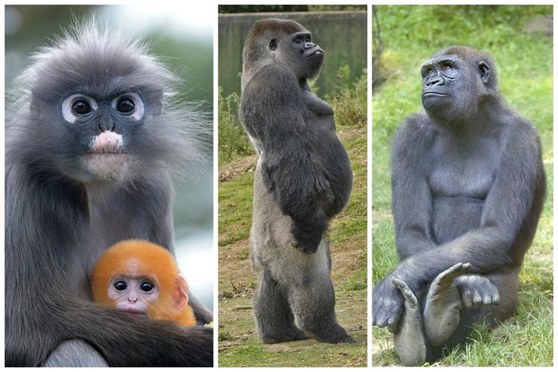 В Индии на протяжении долгого времени верили, что в обезьяне проживает душа умершего человека.   интересное, обезьяны, факты, фауна