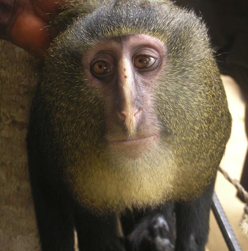 Шимпанзе научились изготавливать из веток подобие копий, с помощью которых они охотятся на мелких приматов галаго. интересное, обезьяны, факты, фауна