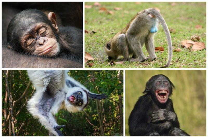 Очень примечателен тот факт, что обезьяны никогда не простужаются. интересное, обезьяны, факты, фауна
