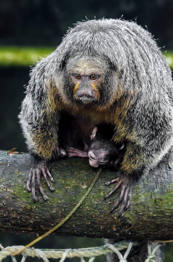Южноамериканские обезьяны вида траурных капуцинов умеют использовать натуральные репелленты от комаров. Они находят в коре деревьев многоножек, которые выделяют защитные химические вещества класса бензохинонов, и натирают ими кожу. интересное, обезьяны, факты, фауна
