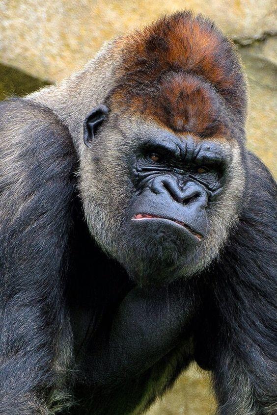 Уходу за ротовой полостью мамы-самки обучают своих детенышей-обезьян с самого раннего возраста.   интересное, обезьяны, факты, фауна