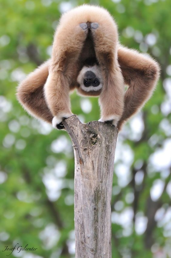 Некоторые обезьяны так же, как и люди, подвержены вредным привычкам — так, были случаи, когда шимпанзе с удовольствием курили трубку. интересное, обезьяны, факты, фауна