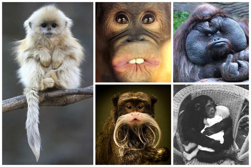 В конце 1920-х годов профессор Илья Иванов проводил опыты по скрещиванию шимпанзе и человека, но не добился результатов, подтверждающих принципиальную возможность этого.  интересное, обезьяны, факты, фауна