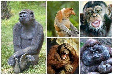 Всего на планете обитает 160 видов обезьян. От настоящих гигантов – двухметровых горилл – до крошек: карликовых игрунков ростом не более 15 см.  интересное, обезьяны, факты, фауна