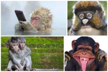 Простите за неполиткорректность, но это научный факт - был зафиксирован случай, когда обезьяна прошла тест на IQ с результатом, который соответствует уровню нормального развития взрослого американца. интересное, обезьяны, факты, фауна