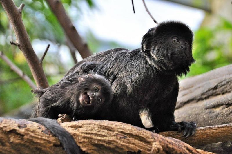 Мармозетка Гёльди – крохотная обезьянка мармозетка гёльди, обезьяны, удивительные животные