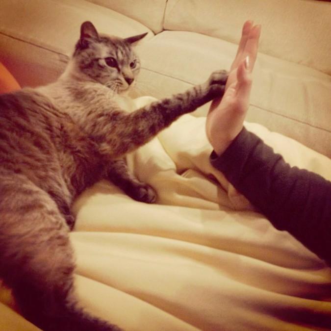 Просят кота «дать пять» домашние питомцы, коты, кошки