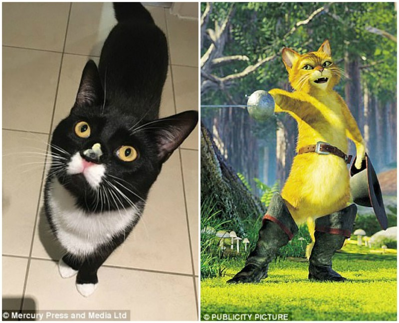 """В интернете Багси называют """"Котом в костюме"""", проводя сравнение с Котом в сапогах животные, кот, котопост, питомцы, популярность, уникально, фото, шерсть"""