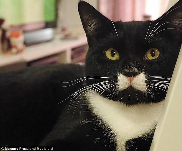 """""""Галстук"""" у Багси заметили, когда он был еще котёнком животные, кот, котопост, питомцы, популярность, уникально, фото, шерсть"""