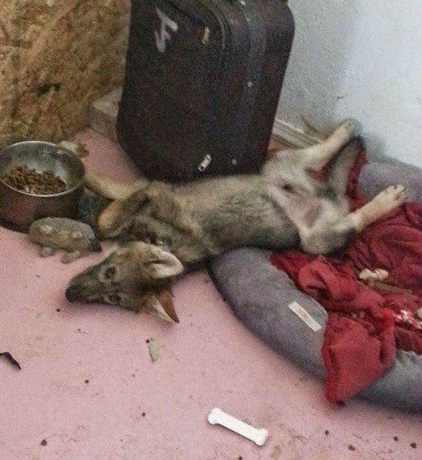 """Объявление """"щенок бесплатно"""" на двери людей, отдававших этого очаровательного зверя, привлекло его будущего хозяина волк, волкособы, животные, собака"""