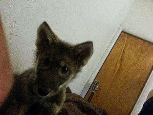 Он забрал Неона домой, но позже начал замечать нечто странное в том, как он выглядит и ведет себя волк, волкособы, животные, собака