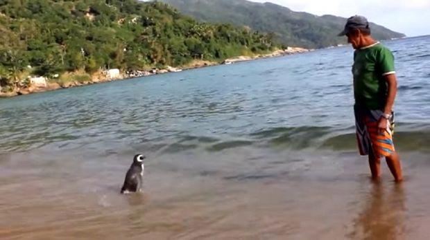 Пингвин проплывает 8000 км каждый год, чтобы увидеть человека, который спас ему жизнь животные, факты