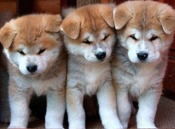 История породы акита-ину, иллюстрации, порода, собака, фото, япония