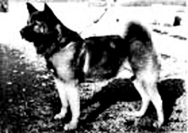 Акита-ину акита-ину, иллюстрации, порода, собака, фото, япония