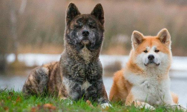 Внешний вид акита-ину, иллюстрации, порода, собака, фото, япония