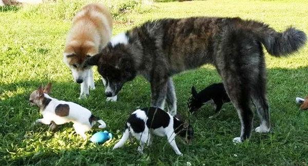 Содержание и уход акита-ину, иллюстрации, порода, собака, фото, япония