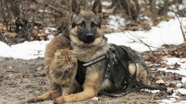 """Кот, выросший среди псов, работает """"провокатором"""" в центре подготовки служебных собак воронеж, дрессура, кот, собака"""