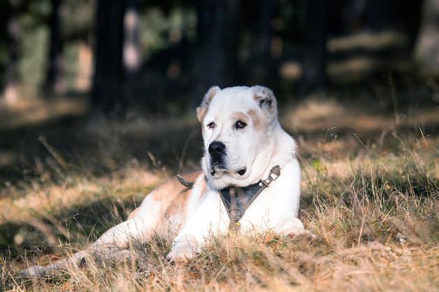 1. Алабай звери, собаки, факты