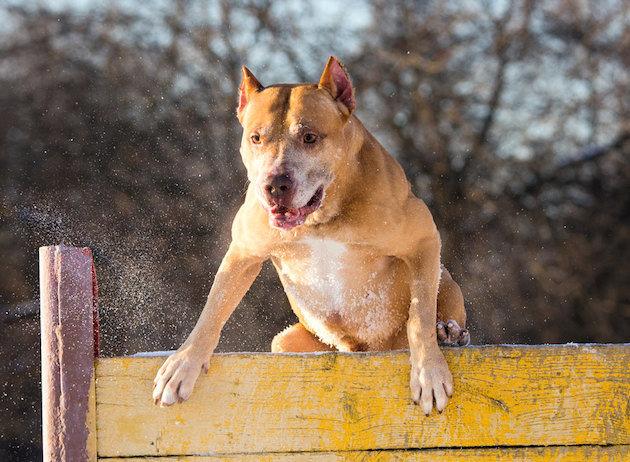 3. Американский питбультерьер звери, собаки, факты
