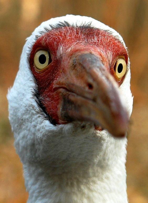 Стерх, или белый журавль (Grus leucogeranus)  журавли, интересное, красота, птицы, факты, фауна