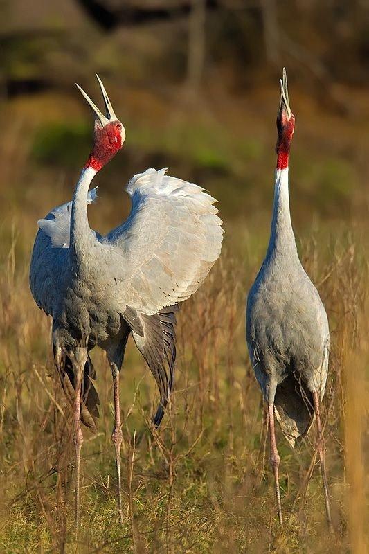 Индийский журавль (Grus antigone)  журавли, интересное, красота, птицы, факты, фауна