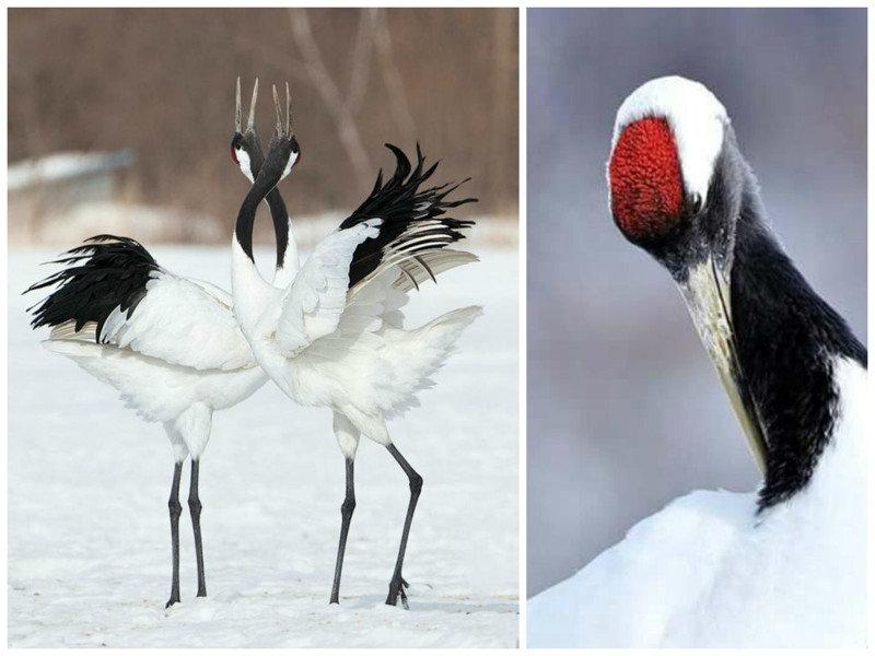 Китай, Южная Африка, Уганда считают журавля своей национальной птицей.  журавли, интересное, красота, птицы, факты, фауна