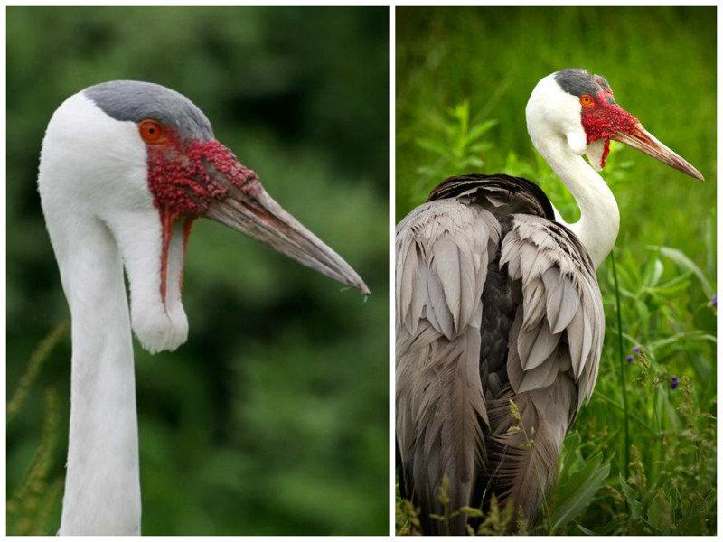 Взрослые птицы раз в год линяют и в это время большинство видов журавлей не способны летать. журавли, интересное, красота, птицы, факты, фауна