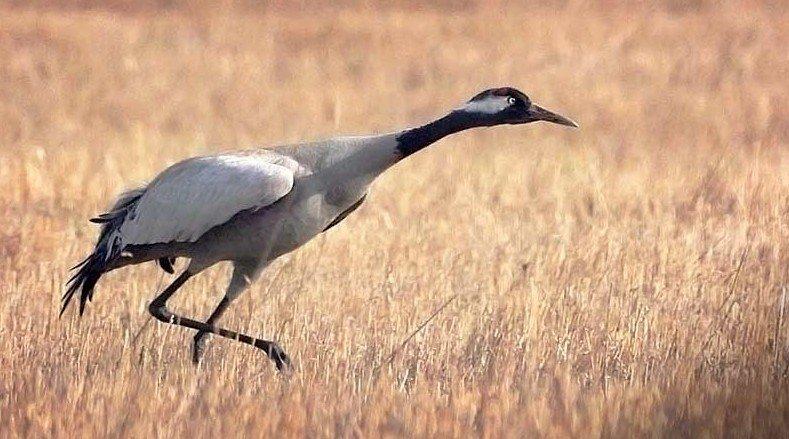 Серый журавль (Grus grus, или Grus communis) журавли, интересное, красота, птицы, факты, фауна
