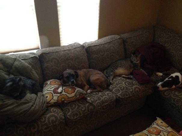 """""""Мое зверье заняло мой диван"""" домашние любимцы, домашний зоопарк, животные, забавно, отзывы владельцев, поучительно, сколько животных держать, четвероногие питомцы"""