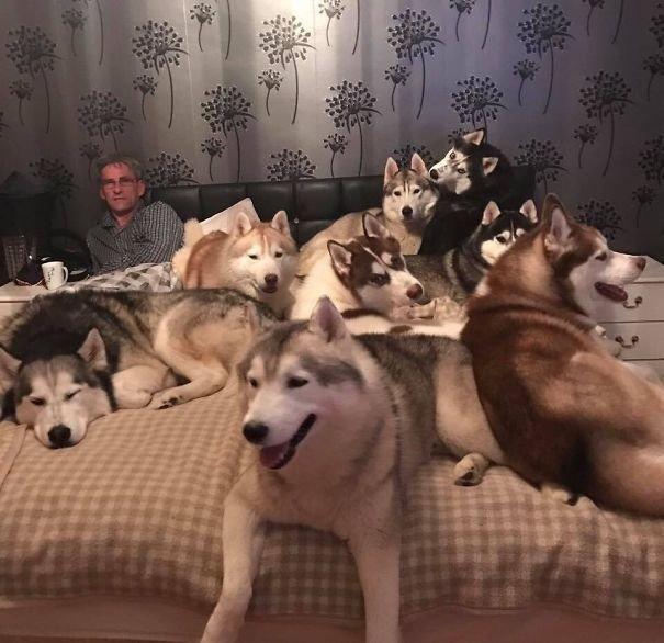 """""""У моих дяди и тети более 20 хаски, и каждую ночь им трудно лечь в постель"""" домашние любимцы, домашний зоопарк, животные, забавно, отзывы владельцев, поучительно, сколько животных держать, четвероногие питомцы"""