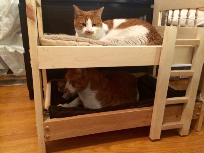 """""""Мой отец, который говорит, что ненавидит кошек, построил для моих мальчиков двухъярусную кровать"""" животные, забавно, кошки, любовь к животным, обаяние, смешно, фото, эти забавные животные"""