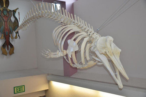 Карасу или черный кит. биология, живая природа, мутант, наука, неопознанное существо