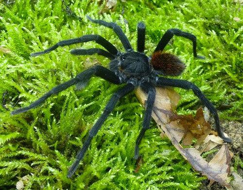 Kankuamo marquezi или тарантул Маркеса. биология, живая природа, мутант, наука, неопознанное существо