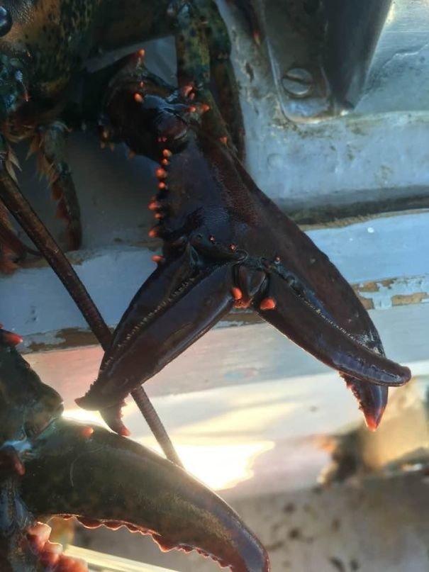 Лобстер с двойными клешнями жуткие фото, насекомые, неожиданно, подборка, природа, ужас, фото, что творится
