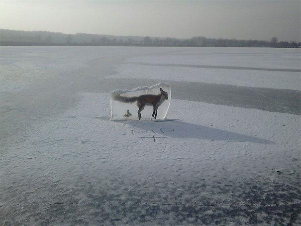Кто-то нашел лисицу и вытащил ее на поверхность, чтобы предостеречь людей: не ходите по льду жуткие фото, насекомые, неожиданно, подборка, природа, ужас, фото, что творится