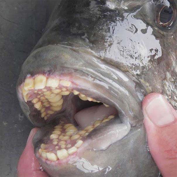 """Рыба Паку с """"человеческими"""" зубами жуткие фото, насекомые, неожиданно, подборка, природа, ужас, фото, что творится"""