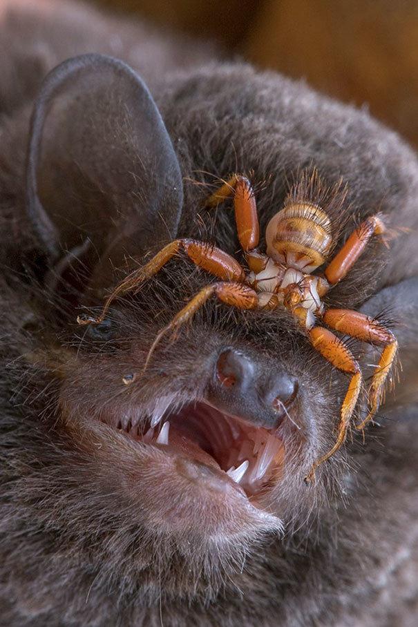 Кровососки - прикрепляются к летучим мышам и проводят всю свою жизнь, ползая в их шерсти жуткие фото, насекомые, неожиданно, подборка, природа, ужас, фото, что творится
