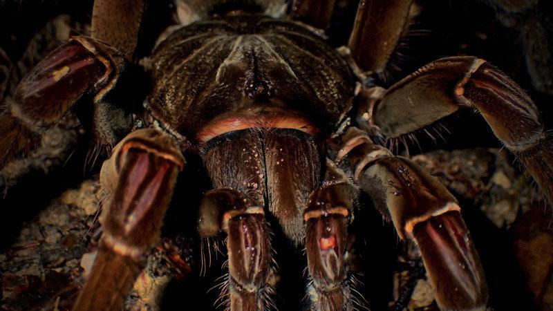 11. В 2017 году были открыты новые виды тарантулов-птицеедов насекомые, паук, пауки, птицеед-голиаф, самый большой, самый большой в мире