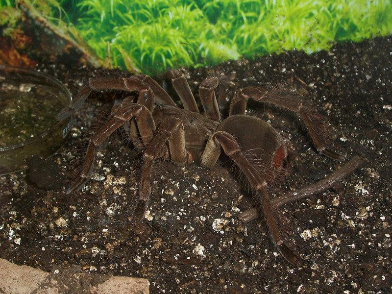 13. Дети охотятся за ними и едят насекомые, паук, пауки, птицеед-голиаф, самый большой, самый большой в мире