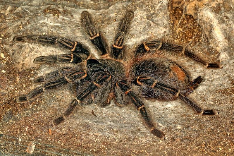 1. Самки живут по десять и больше лет, самцы - лишь по несколько лет насекомые, паук, пауки, птицеед-голиаф, самый большой, самый большой в мире