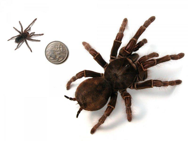 6. Может отложить 200 яиц за один раз насекомые, паук, пауки, птицеед-голиаф, самый большой, самый большой в мире