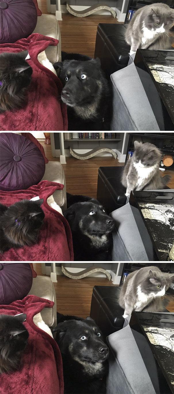 """""""Помогите! Окружили!"""" дружба животных, животные, забавные животные, как кошка с собакой, кошки, собаки, фото, юмор"""