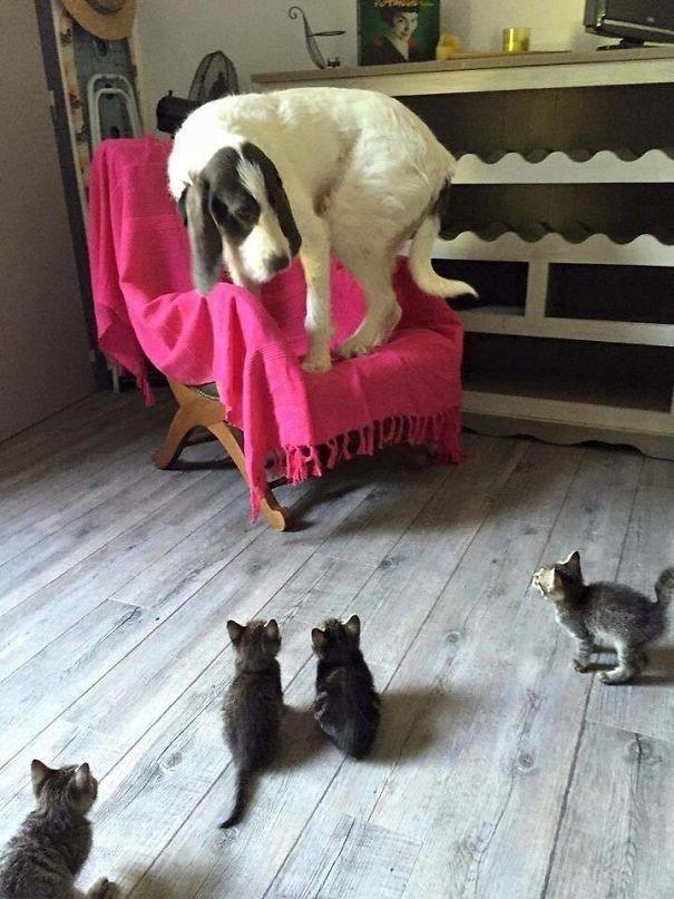 """""""Котята - это кошмар!"""" дружба животных, животные, забавные животные, как кошка с собакой, кошки, собаки, фото, юмор"""