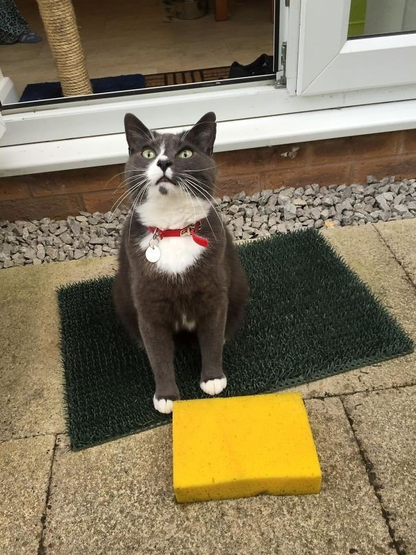 """""""Наш кот имеет привычку приносить нам хозяйственные губки"""" вещи. милота, домашний питомец, животные, кошка, подарки, собака"""