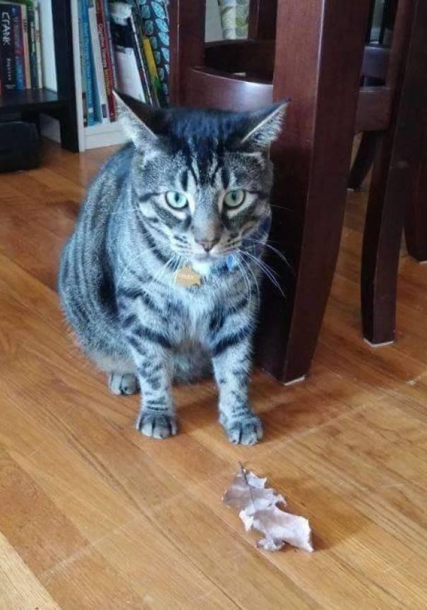 """""""Мой кот всегда завидовал навыкам охоты своих дальних родственников живущих в саванне, поэтому он вышел на улицу и поймал листик"""" вещи. милота, домашний питомец, животные, кошка, подарки, собака"""